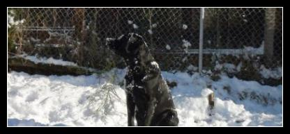 Taro the black Labrador Puppy Covered In Snow.