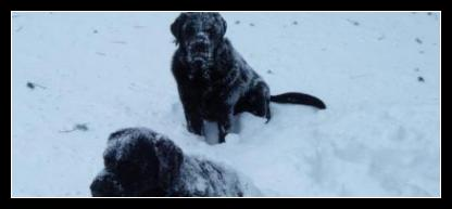 Snow Covered Black Labrador Litter Mates