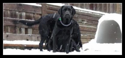 Black labrador cute snow picture.