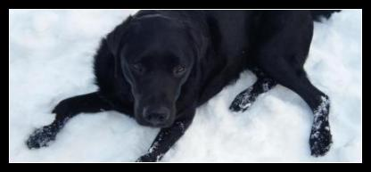 Black Labrador, Kratos, Enjoying the Snow