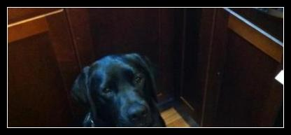 "Black Labrador ""Taro"" Waiting Patiently for Treats ( he isn't supposed to be in the kitchen though.. Oops! )"