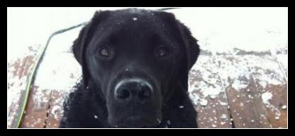 Black Labrador 'Kratos' in the Snow