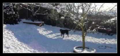 Black Labrador Puppy in the Backyard in the Snow.