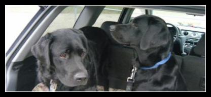 Kratos and Taro, black labrador litter mates ready for an off leash adventure in Langley, BC.