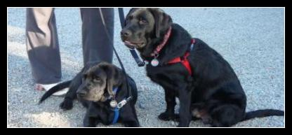 "Black Labrador puppies Taro (left) in a ""down"" and Kratos in a ""sit"". Good Puppies!!"