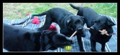 Jordan playing with black labrador littermates Taro and Kratos