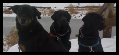 Jordan and her black labrador litter mates Taro and Kratos out for a walk around the SilverDale Wetlands Winter 2010