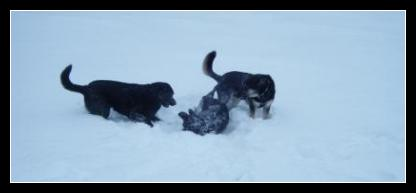 Black Labrador Litter Mates playing with a new friend!  That is Taro on the ground.