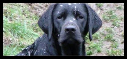 Taro the black labrador puppy in his first snowfall.