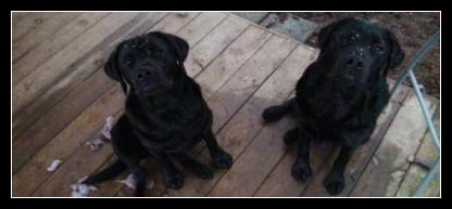 Black Labrador Puppies looking innocent.