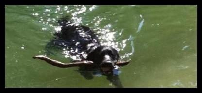 Black Labrador LitterMate, Taro, swimming and fetching for the first time!