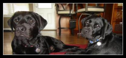 Black Labrador puppies get distracted by the unknown!