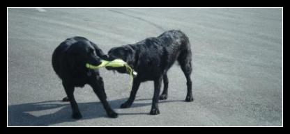 Black Labrador litter mates playing with their Kong water toy on land.
