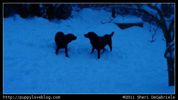 Black Labrador Puppies Playing in the Snow. (Puppy Love Blog)