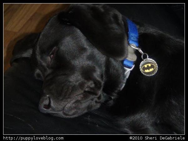 yellow lab puppies sleeping. Cute black labrador puppy