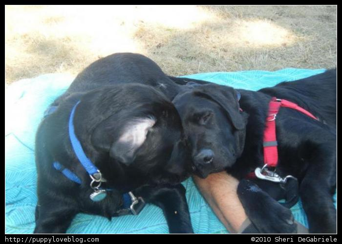 Black Labrador Puppies - Litter Mates - Taro and Kratos.