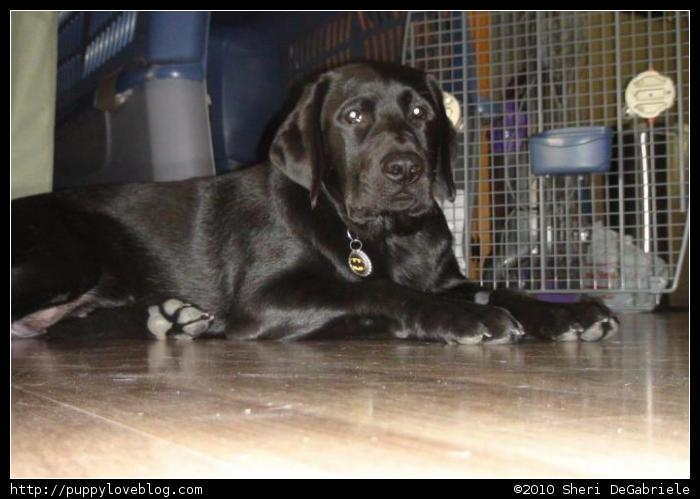 Taro, the black labrador puppy, trying to get comfortable.