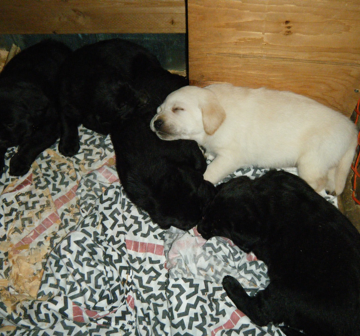 Labrador Retriever LItter Mates